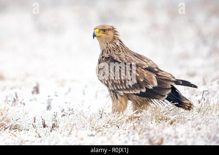 Águila Imperial Oriental (Aquila heliaca) en la nieve, Hungría Imagen De Stock