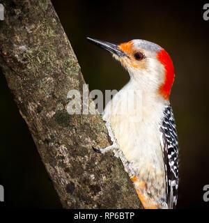 Macho de Downy Woodpecker Imagen De Stock