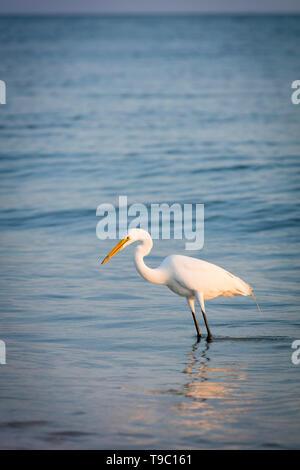 Garzón Blanco (Ardea alba), garceta común o en una playa en el suroeste de Florida, Naples, Florida, EE.UU. Imagen De Stock