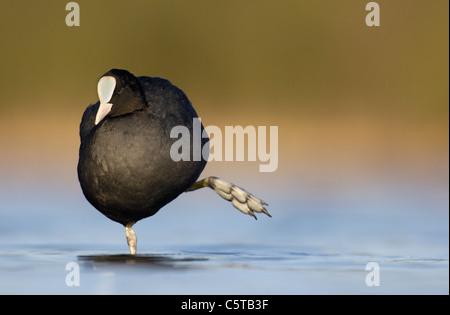 Focha Común Fulica atra un adulto estirar sus piernas al amanecer. De marzo. Derbyshire, Reino Unido Imagen De Stock