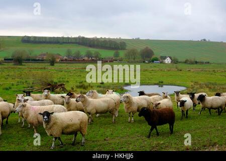 Rebaño de ovejas en un campo en el Stratford Puente justo en las afueras de Salisbury Imagen De Stock