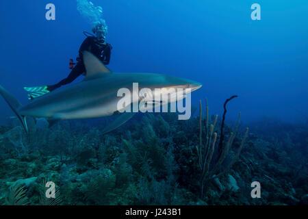 Buceo con tiburones de arrecife caribeño. Imagen De Stock