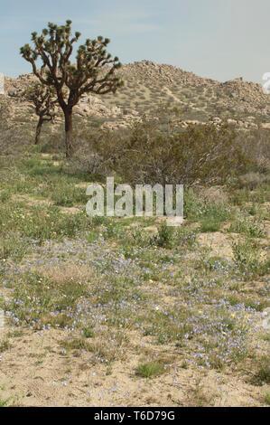 Joshua árboles en el desierto Mohave ecosistema de Big Rock Creek Wildlife Sanctuary, California. Fotografía Digital. Imagen De Stock