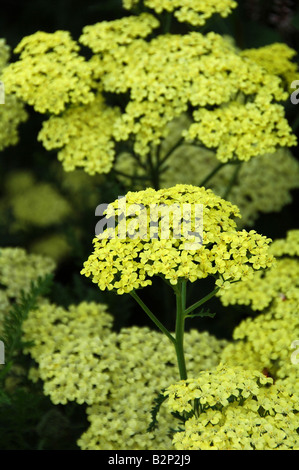 Flores amarillas de frontera herbácea perenne floración verano durante largo periodo de floración Imagen De Stock