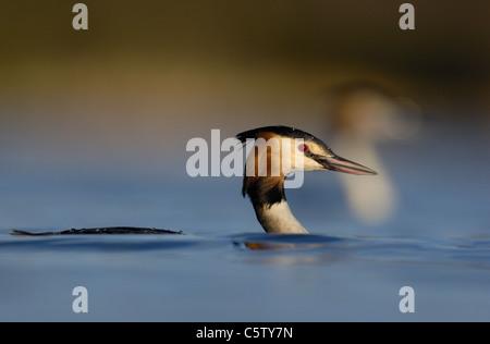 Somormujo LAVANCO Podiceps cristatus Perfil de un adulto tumbado bajo el agua, otro grebe cerca detrás. Derbyshire, Imagen De Stock