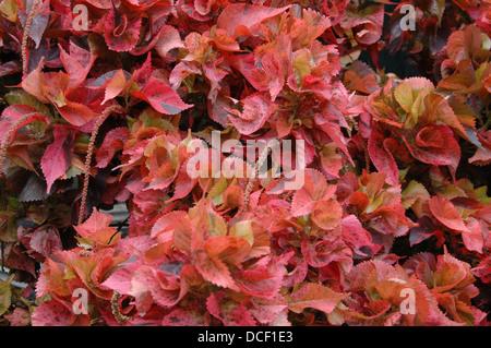 Acalypha wilkesiana Copperleafs - - follaje Hoja de cobre Imagen De Stock