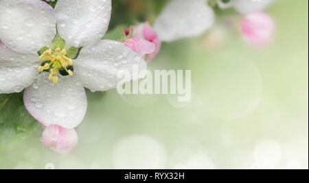 Florecimiento de Apple. Rama de manzano en flor en la primavera. Close-up. Imagen De Stock