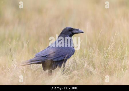 El Cuervo común (Corvus corax) adulto, de pie en el suelo en los prados, en Suffolk, Inglaterra, Reino Unido, Agosto, sujeto controlado Imagen De Stock