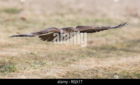 Ratonero común de Madeira (Buteo buteo) en vuelo sobre pastizales Imagen De Stock