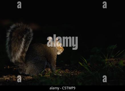 Gris ardilla Sciurus carolinensis spotlit es un adulto por la noche la luz solar como forrajes en el suelo del bosque. Imagen De Stock