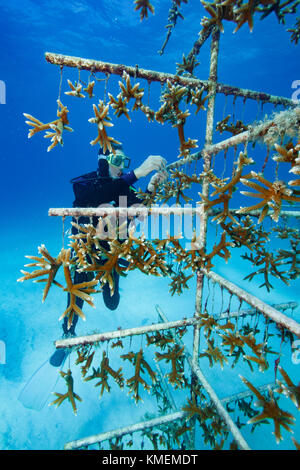 Fundador de la ACR tiende a coral vivero. Imagen De Stock