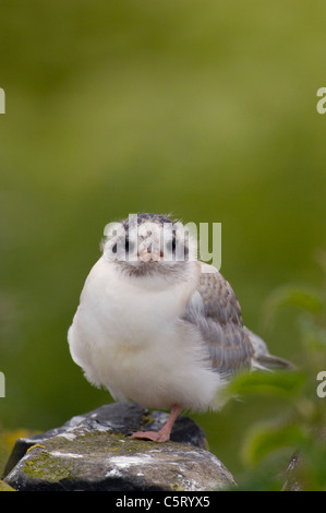 El charrán ártico Sterna paradisaea una creciente chick esperando en un muro de piedra para sus padres Imagen De Stock