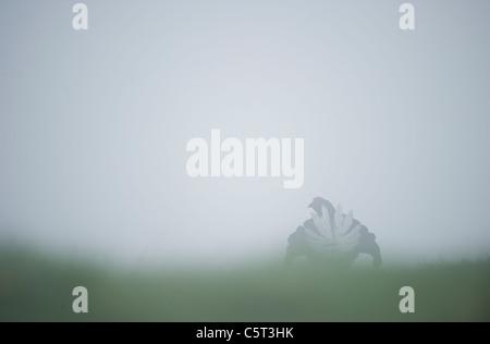Tetrao tetrix urogallo negro un macho adulto de visualización en un páramo cubierto de neblina al amanecer. Imagen De Stock