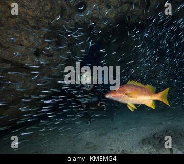 Scuba Diver en medio de escolaridad glass promelas. preceptor snapper merodea cerca, esperando una comida rápida. Imagen De Stock