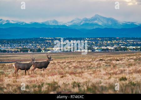 Ciervos en el paisaje, paisaje urbano, Longs Peak, Montañas Rocosas, Denver, Colorado, EE.UU. Imagen De Stock