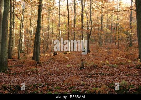Bosques de roble Inglés histórico en Ightam en Kent UK imagen tomada el 4 de noviembre de 2007 Imagen De Stock