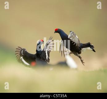 Tetrao tetrix urogallo negro un par de machos adultos luchan en un páramo remoto al amanecer. Escocia, Reino Imagen De Stock