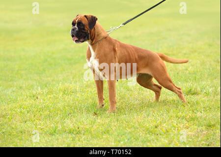 Boxer 296 Imagen De Stock