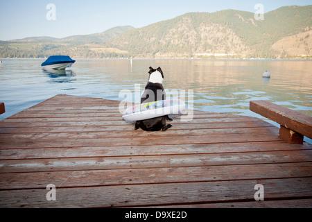 Boston Terrier perro desgaste del anillo en el dique flotante Imagen De Stock