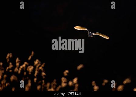 Lechuza Tyto alba un adulto, retroiluminado por la noche la luz solar, en vuelo sobre un reedbed. Norfolk, Reino Imagen De Stock