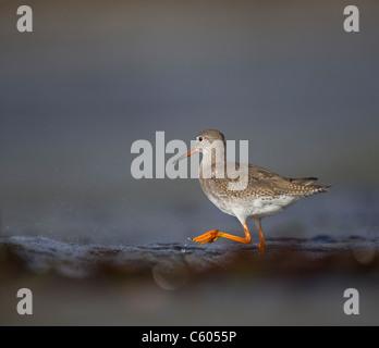 Redshank Tringa totanus adulto forrajeando entre olas de marea en la superficialidad. De septiembre. Islas Shetland Imagen De Stock