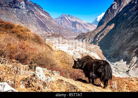 Yak nepalí de pie en el valle de Langtang. El fondo muestra el Langtang Village y el Tserko Ri montaña. Imagen De Stock