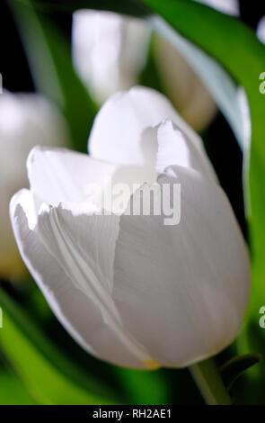 Cerca de Pure White Tulip pétalos de flores Imagen De Stock