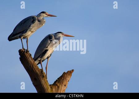 Garza Real Ardea cinerea las parejas reproductoras posado juntos sobre un tocón de árbol muerto. De marzo. Imagen De Stock
