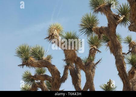 El follaje de Joshua Tree, Big Rock Creek Wildlife Sanctuary, California. Fotografía Digital. Imagen De Stock