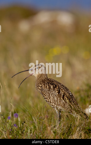 Numenius arquata zarapito Perfil de un adulto llamando entre flores silvestres. Julio. Islas Shetland (Escocia, Imagen De Stock
