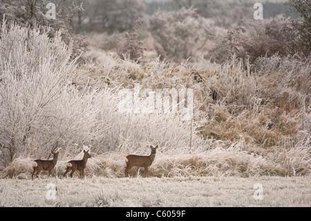 Corzo Capreolus capreolus una hembra adulta y sus dos terneros en una escena invernal, cubierta de hielo. Escocia, Imagen De Stock