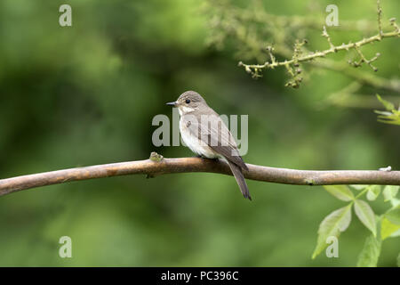 Spotted Flycatcher en Suffolk Garden Imagen De Stock