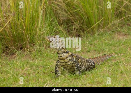 El lagarto monitor del Nilo (Varanus niloticus), un lagarto, Parque Nacional de Murchison Falls, Uganda Imagen De Stock