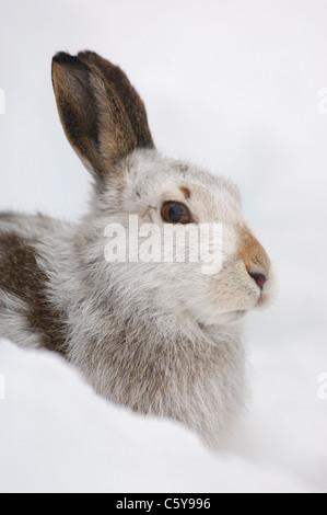MOUNTAIN LIEBRE Lepus timidus retrato de perfil adulto una alerta en su abrigo blanco Montañas Monadhliath, Imagen De Stock