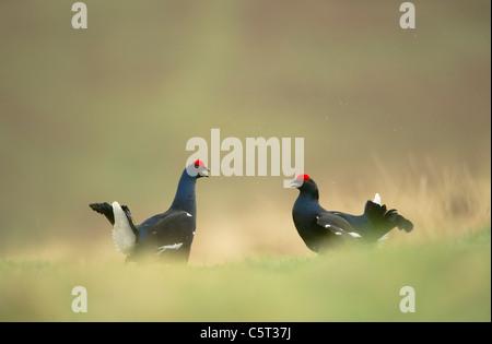 Tetrao tetrix urogallo negro un par de machos adultos se preparan para luchar por el territorio en un páramo Imagen De Stock