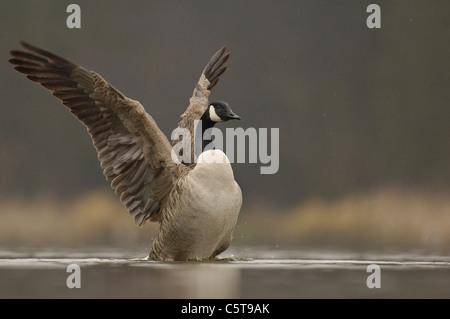 Canadá ganso Branta canadensis un adulto secando sus alas después de bañarse. Derbyshire, Reino Unido Imagen De Stock