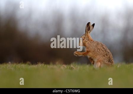 BROWN LIEBRE Lepus europaeus un adulto sacude sus patas delanteras después de limpiarse en un campo pequeño. Imagen De Stock