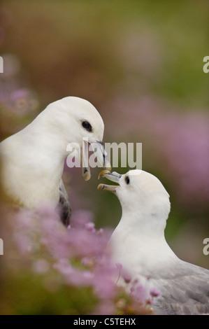 FULMAR Fulmarus glacialis las parejas reproductoras se dedican a sus parlotear ruidosamente la visualización Imagen De Stock
