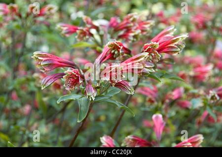 Alstroemeria psittacina - Alstroemeria pulchella. El lirio peruano Imagen De Stock