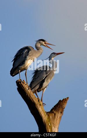 Garza Real Ardea cinerea las parejas reproductoras juntos sobre un tocón de árbol muerto. De marzo. Nottinghamshire, Imagen De Stock