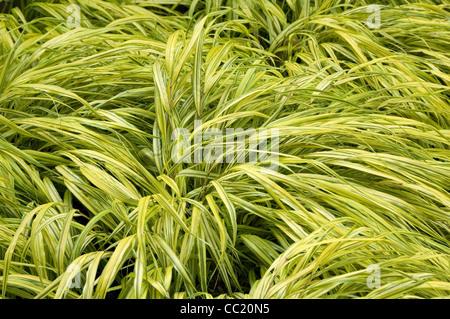 Hakonechloa aureola de macro - césped ornamental perenne Imagen De Stock