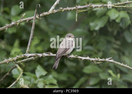 Spotted Flycatcher Imagen De Stock