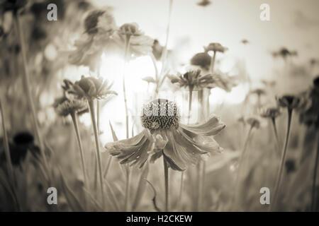 Flores en el jardín con el enfoque selectivo en tono sepia. Verano tranquilo escenario de la naturaleza, cerca Imagen De Stock
