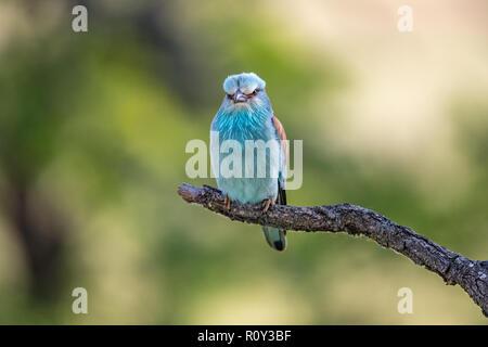 Unión Rodillo (Coracias garrulus) donde se posan en una rama, el Parque Nacional Hortobagy, Hungría Imagen De Stock