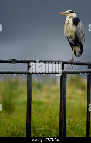 Garza Real Ardea cinerea adulto posado sobre un alimentador de ganado. De octubre. Isle Of Mull, Escocia, Reino Imagen De Stock