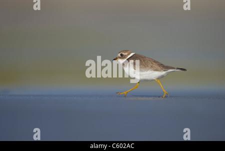 Callonetta patinegro Charadrius hiaticula un adulto que corre a lo largo de una playa en la noche la luz solar. Imagen De Stock
