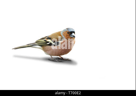 Finch 101 Imagen De Stock
