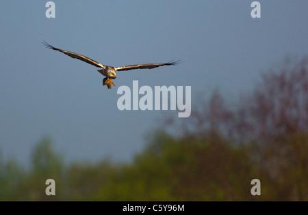 Aguilucho lagunero Circus aeruginosus un adulto con un conejo muerto volando en la luz de la mañana temprano Imagen De Stock