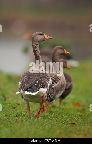 GRAYLAG GOOSE Anser anser un grupo de adultos paseando por las orillas del río Lea cerca de Hackney marshes. Imagen De Stock