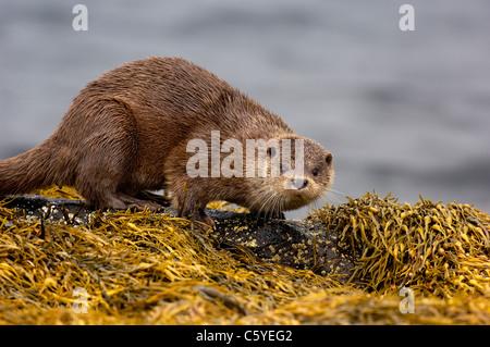 Unión nutria Lutra lutra un adulto pausas entre las algas en una remota costa Escocesa. Isle Of Mull, Escocia, Imagen De Stock